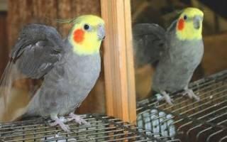 Как можно назвать попугая кореллу мальчика?