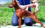 Как научить собаку стоять в стойке?