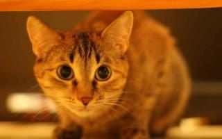Как давать глистогонное кошке?