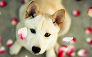 Как проходит течка у собак средних пород?
