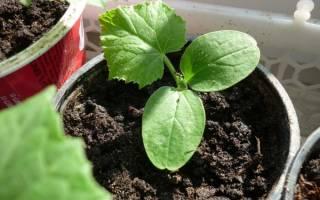 Как посадить огурцы на рассаду?