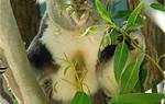 Коала в домашних условиях, можно ли завести коалу дома?