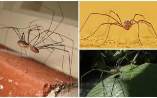 Паук с длинными тонкими ножками — сенокосцы паукообразные
