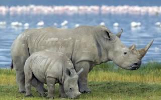 Толщина кожи носорога — самое толстокожее животное