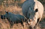 Где живет носорог в какой стране?