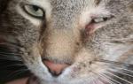 У кота не открывается глаз и слезится