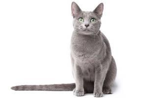 Русская голубая кошка с желтыми глазами