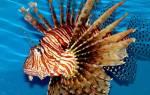 Ядовитые аквариумные рыбки, крылатка зебра