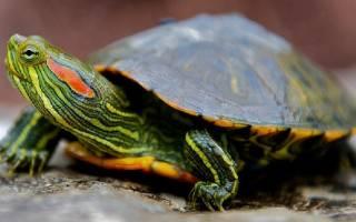 Черепаха красноухая чем опасна для ребенка