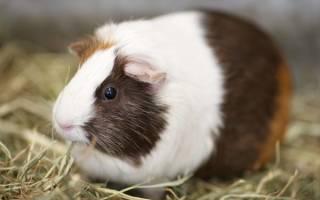 Как выглядит беременная морская свинка?
