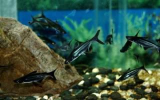 Пресноводные акулы для аквариума