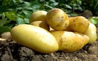 Картошка польза и вред для здоровья – полезность картофеля