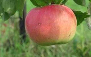 Яблоня бессемянка мичуринская описание сорта фото отзывы