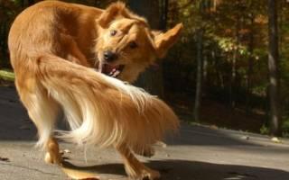 Собака выгрызает шерсть возле хвоста