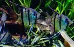 Почему скалярия плавает вертикально?