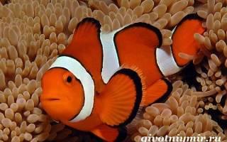 Рыба клоун особенности частей тела