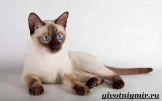 Как ухаживать за сиамским котенком?