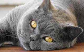 Какой корм лучше для британских кошек?
