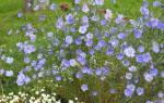 Лен многолетний небесный выращивание из семян – посадка льна под зиму