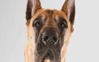 Дог собака описание породы и характера, все о догах