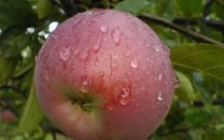 Яблоня орлик описание сорта фото отзывы