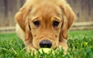 У собак операция орхиэктомии: у кобеля одно яичко, что делать?