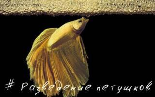 Разведение рыбок петушков в домашних условиях