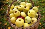 Лучшие сорта яблонь для урала и сибири
