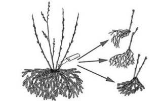 Как размножить ежевику черенками в домашних условиях?