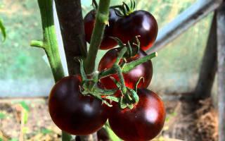 Черные сорта томатов с фото и описанием, черный помидор