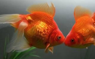 Как размножаются золотые рыбки в аквариуме, видео