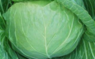 Лучшие сорта белокочанной капусты для урала