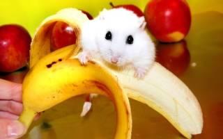 Можно ли банан хомяку джунгарику?