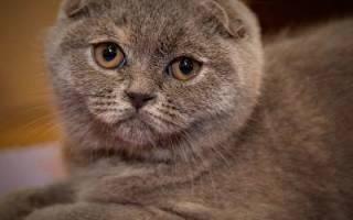 Шотландские вислоухие коты характер и уход – скоттиш фолд характеристика