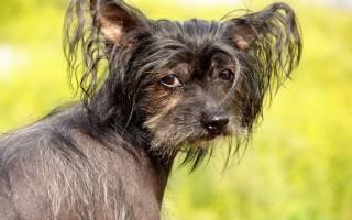 Маленькая порода собак с большими ушами