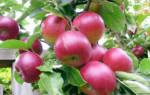 Сорт яблони легенда фото и описание сорта