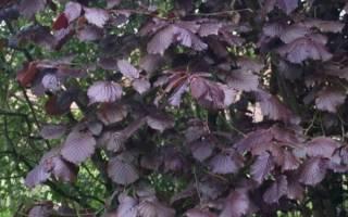 Фундук краснолистный посадка и уход, лещина садовая