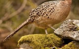Как называется самка фазана?