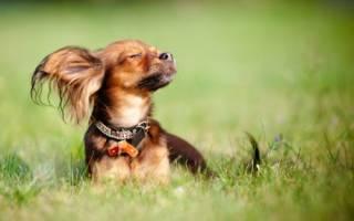 Топ 10 самых маленьких собак, японская карманная собачка