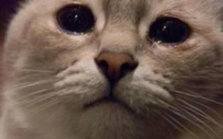 Слезятся глаза у кошки чем лечить, слезотечение у кошек лечение