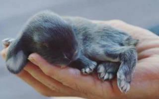 Когда у крольчат появляется шерсть — когда у кроликов открываются глаза?