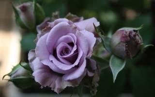 Сорта сиреневых роз с фото и названиями