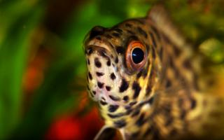 Ктенопома леопардовая содержание совместимость