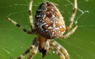 Опасен ли паук крестовик для человека, araneus marmoreus