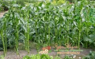 Что сажать после кукурузы на следующий год?