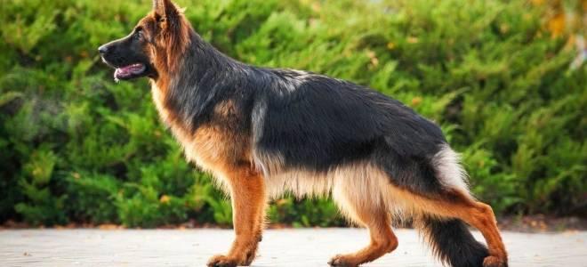 Помеси собак разных пород фото с названиями, смесь немецкой овчарки