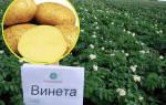 Сорт картофеля винета фото и описание