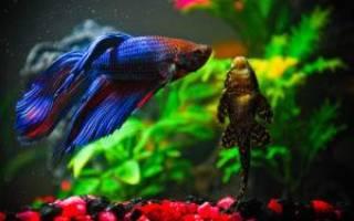 Как спит рыба петушок в аквариуме?