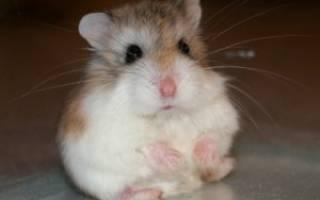 Хомяки роборовского, самый маленький хомячок