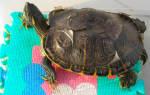 Линька у красноухой черепахи фото
